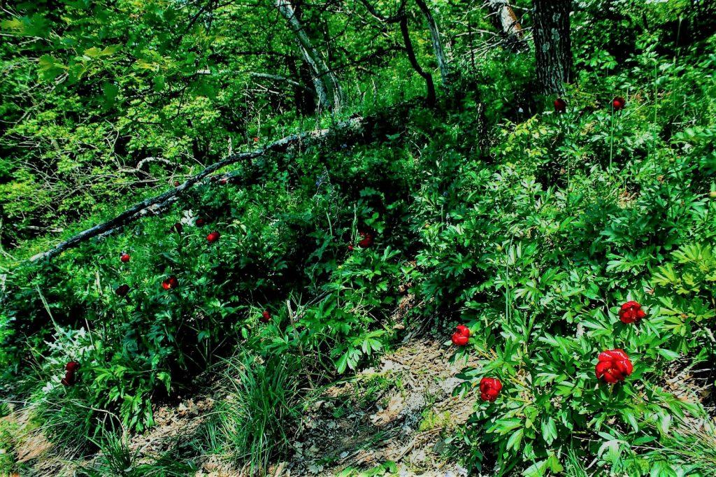 Rezervația de bujorii Macin